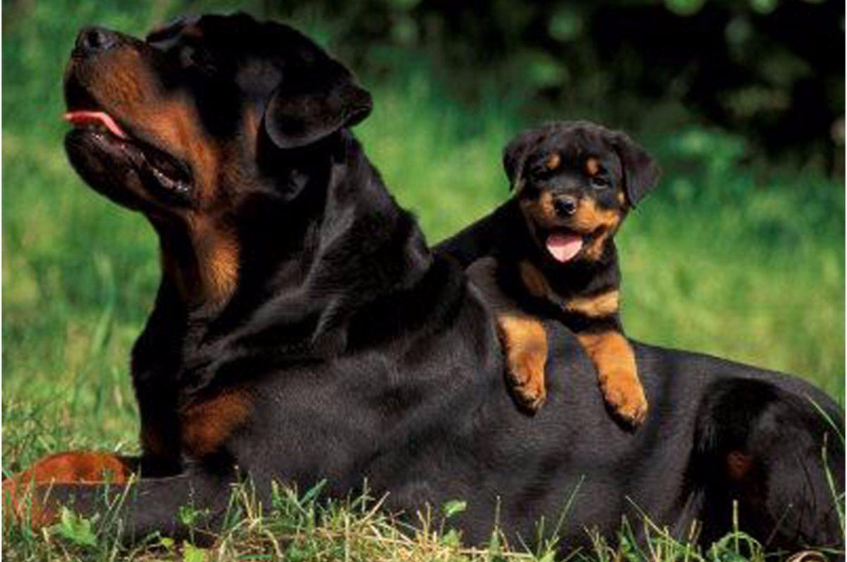 зависимости фото собак ротвейлеров в бою любых