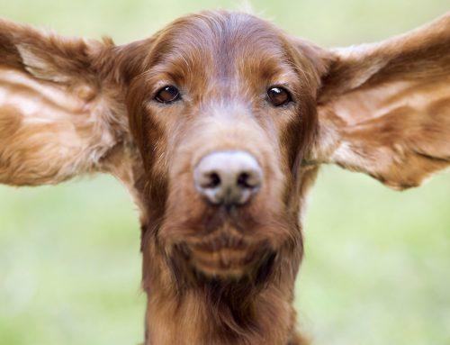 Правилно почистване на ушите на домашния любимец – Как да се справим у дома?